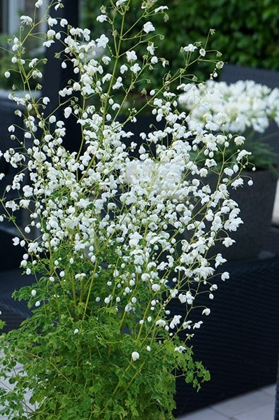 buy meadow rue thalictrum delavayi splendide white