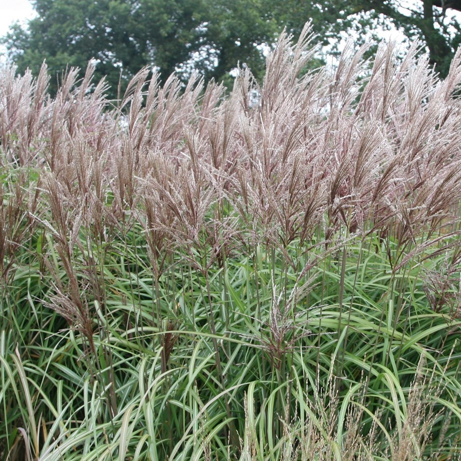 Chinese Silver Grass Buy Chinese silver gra...