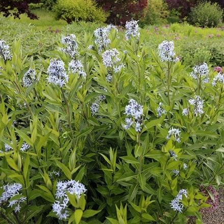 Amsonia tabernaemontana var. salicifolia