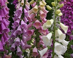 Digitalis purpurea 'Excelsior Group'