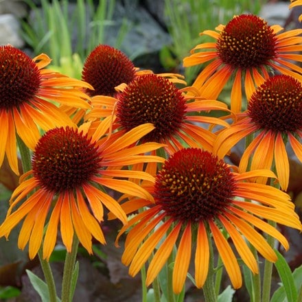 Echinacea Flame Thrower (PBR)