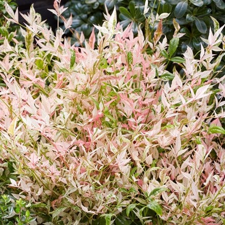 Nandina domestica Twilight (PBR)