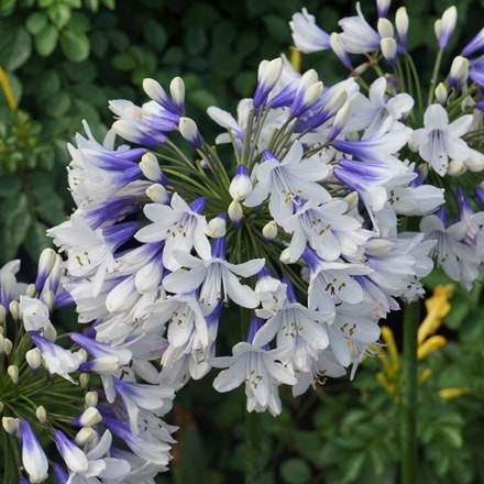 Agapanthus africanus Twister ('Ambic001') (PBR)