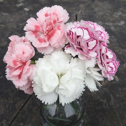 Award winning dianthus collection