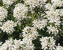 Choisya × dewitteana White Dazzler ('Londaz') (PBR)