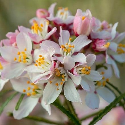 Choisya ternata Apple Blossom ('Pmoore09') (PBR)