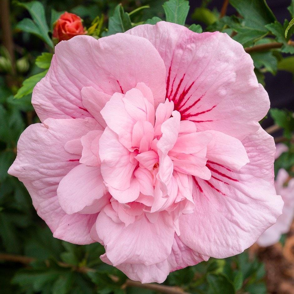 Buy Tree Hollyhock Hibiscus Syriacus Pink Chiffon Jwnfour Pbr