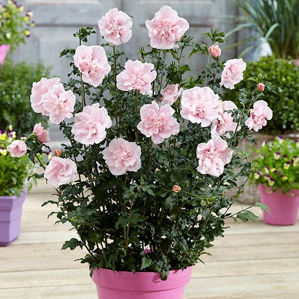 buy tree hollyhock hibiscus syriacus 39 pink chiffon 39 jwnfour 39 pbr 39 delivery by waitrose. Black Bedroom Furniture Sets. Home Design Ideas