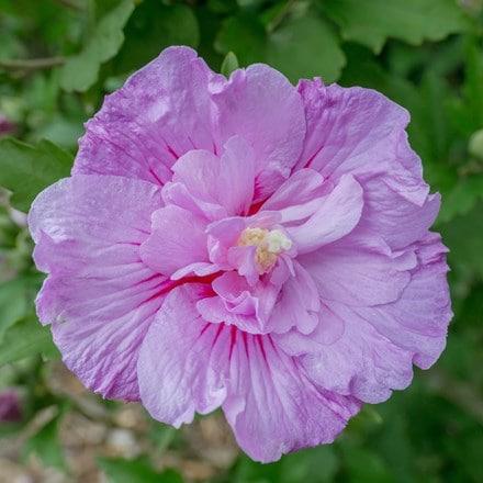 Hibiscus syriacus Lavender Chiffon ('Notwoodone') (PBR)