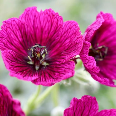 Geranium (Cinereum Group) Jolly Jewel Purple ('Noortpur') (PBR)