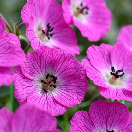 Geranium (Cinereum Group) Jolly Jewel Hot Pink ('Noortjjhpi') (PBR)