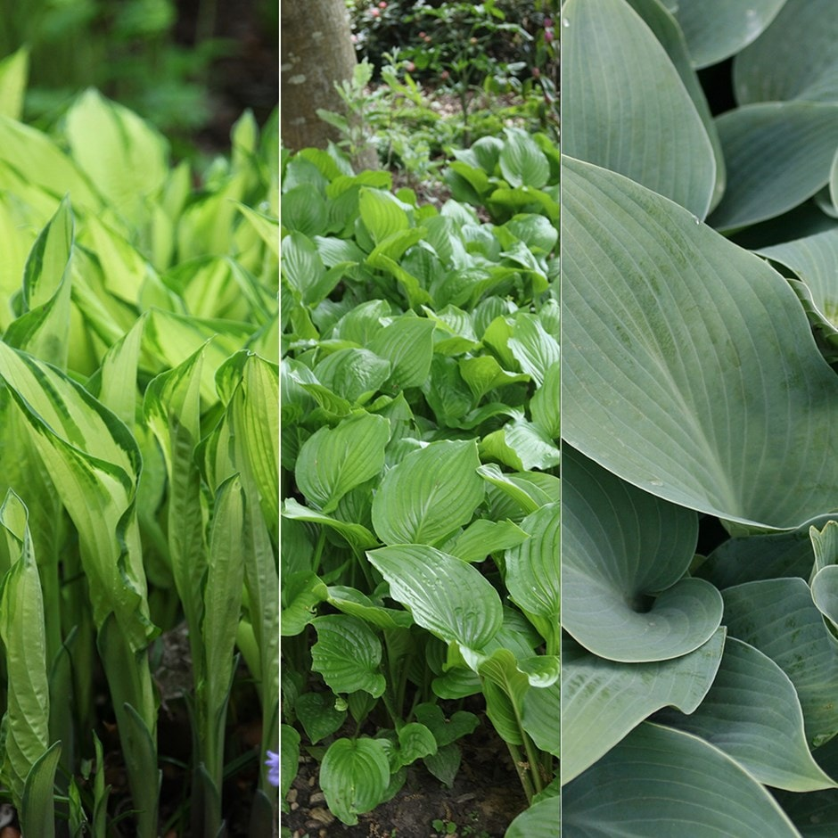 Buy The Highgrove Mixed Hosta Collection The Mixed Highgrove Hosta