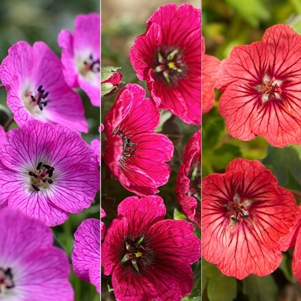Geranium cinereum Jolly Jewel collection
