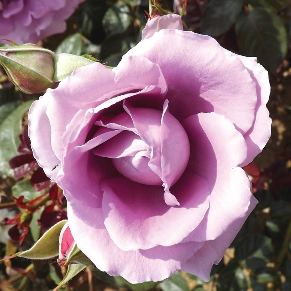 rose Harry Edland (floribunda)