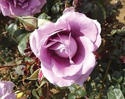 rose Harry Edland (floribunda)
