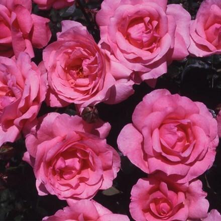 Rosa Special Mum