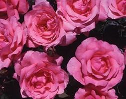 rose Special Mum (floribunda)