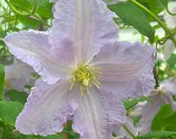 clematis (group 3) 'Blue Angel '(syn 'Blekitny Aniol')