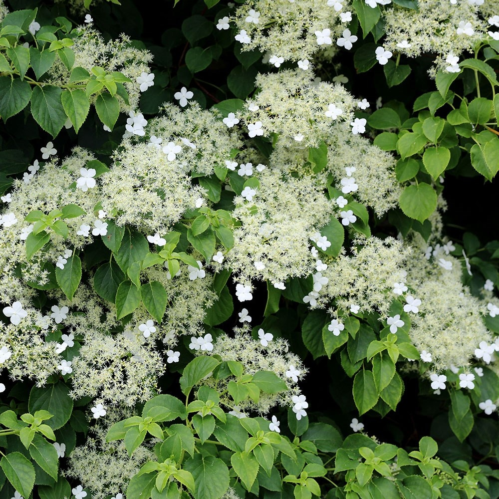 buy climbing hydrangea hydrangea anomala subsp petiolaris. Black Bedroom Furniture Sets. Home Design Ideas