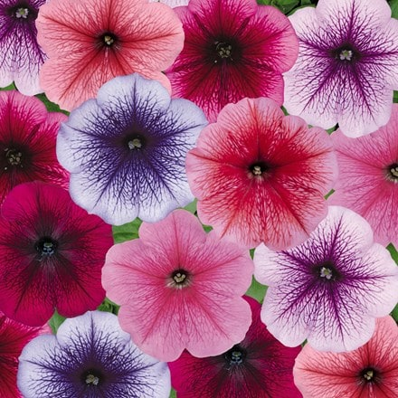 Petunia Frenzy Reflection Mix (Frenzy Series)