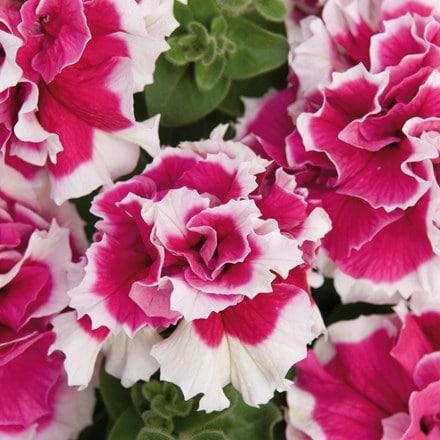 Petunia Double Pirouette Rose