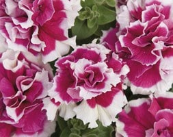 Petunia Double Pirouette Rose
