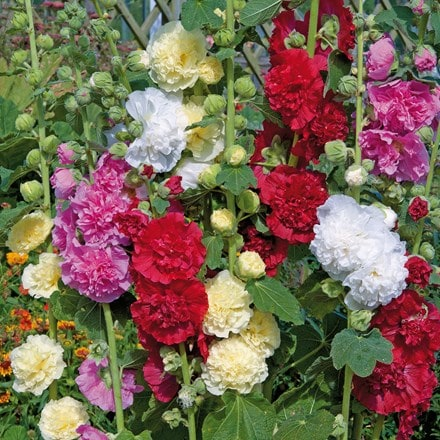 Alcea - Hollyhock Chaters double mixed