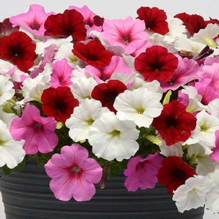 Petunia Easy Wave Berries and Cream