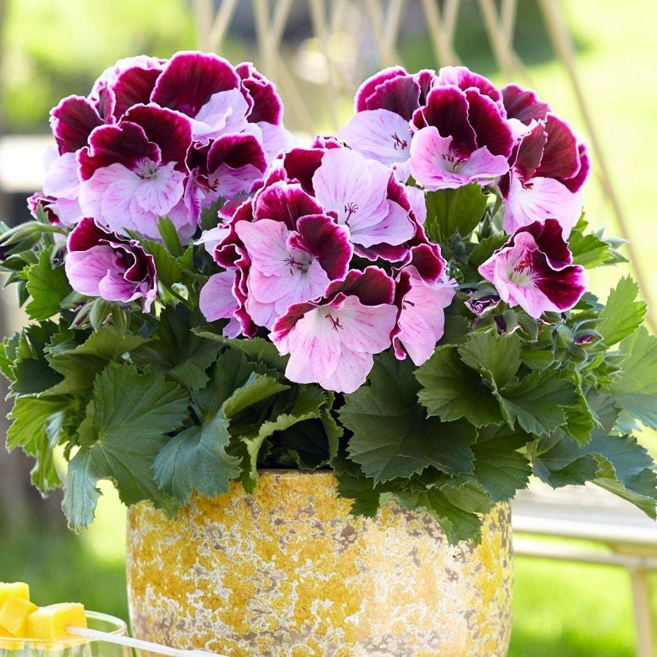 Pelargonium 'Elegance Jeanette'