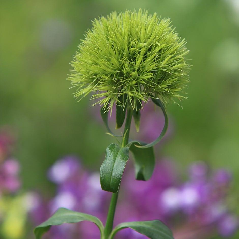 Buy Pink Dianthus Barbatus Green Trick Temarisou Pbr