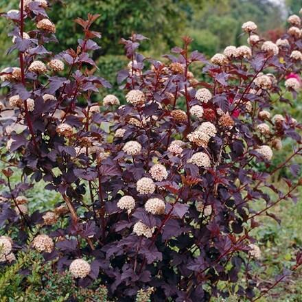 Physocarpus opulifolius Diabolo (PBR)