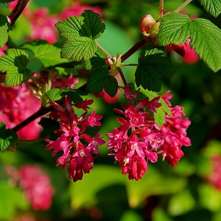 Ribes sanguineum King Edward VII