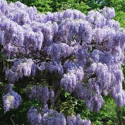 Wisteria sinensis Prolific