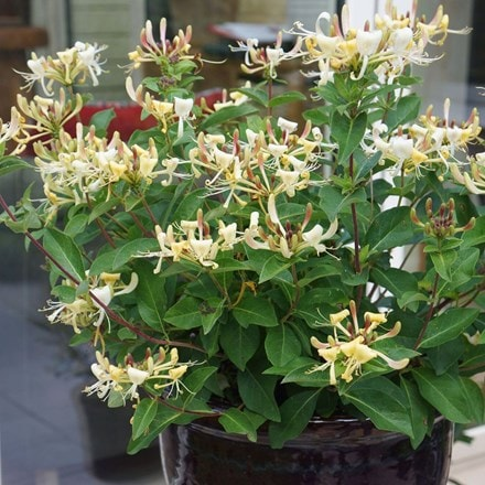 Lonicera Blond & Beyond ('Honey Baby') (PBR)