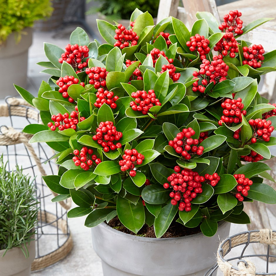 Japanese skimmia (female)