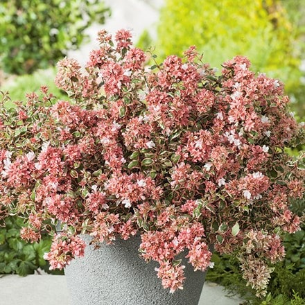 Abelia × grandiflora Magic Daydream ('Opstal103') (PBR)