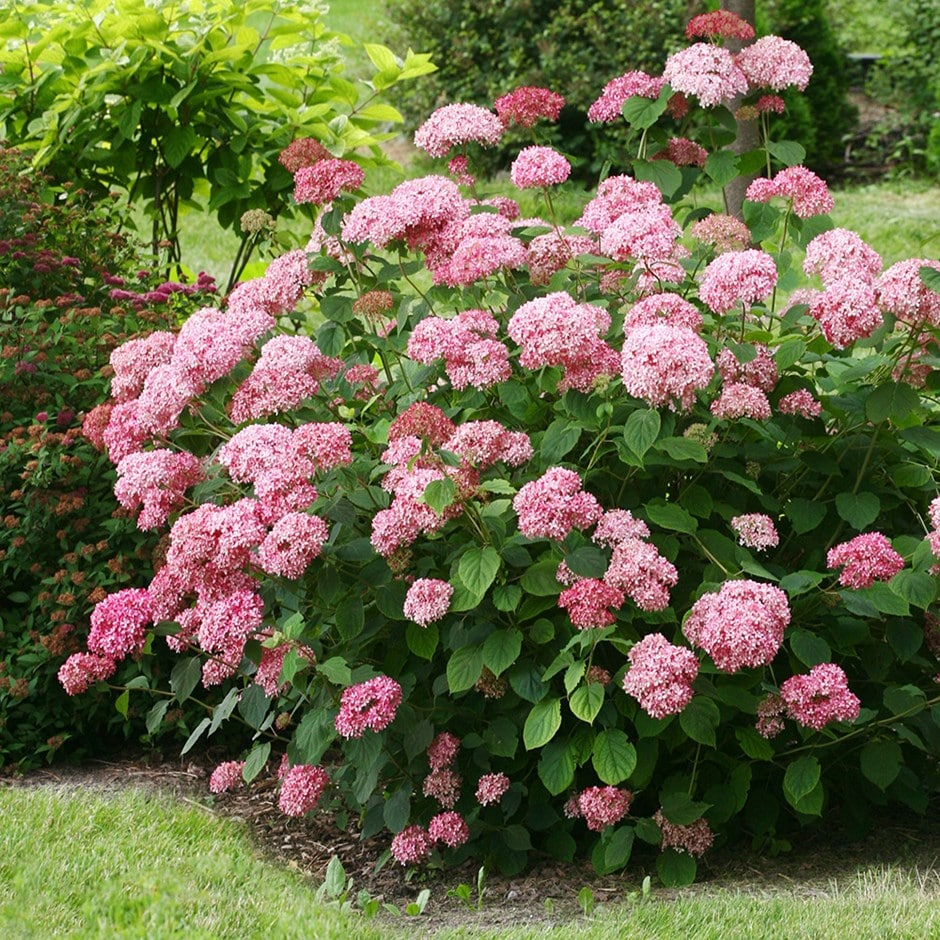 buy sevenbark pink annabelle hydrangea arborescens. Black Bedroom Furniture Sets. Home Design Ideas