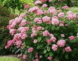 sevenbark ( Pink Annabelle )