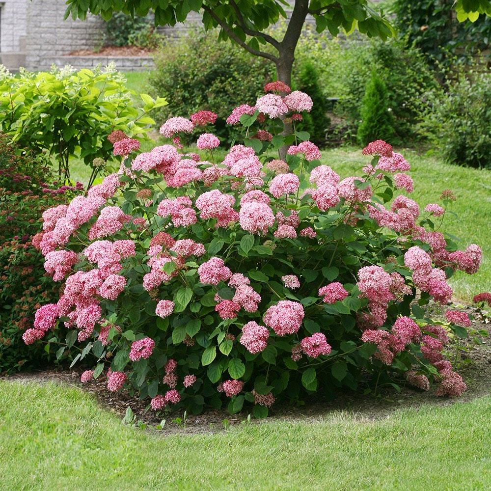 buy sevenbark pink annabelle hydrangea arborescens pink annabelle 39 ncha2 39 delivery. Black Bedroom Furniture Sets. Home Design Ideas