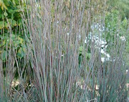 little bluestem (syn. Andropogon scoparius )
