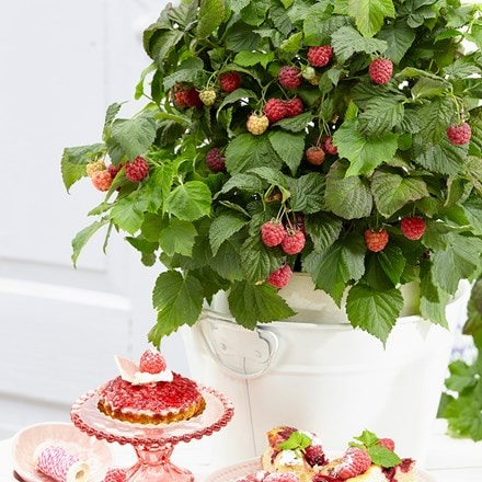 Rubus ideus BonBonBerry Yummy ('Jandeboer019') (PBR)