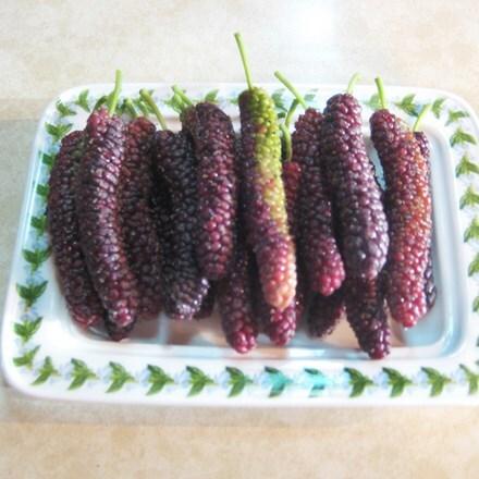 Morus Giant Fruit