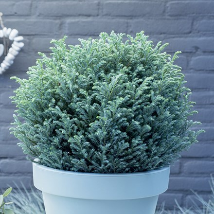 Chamaecyparis pisifera Blue Moon (PBR)
