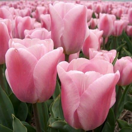 Tulipa Synaeda Amor