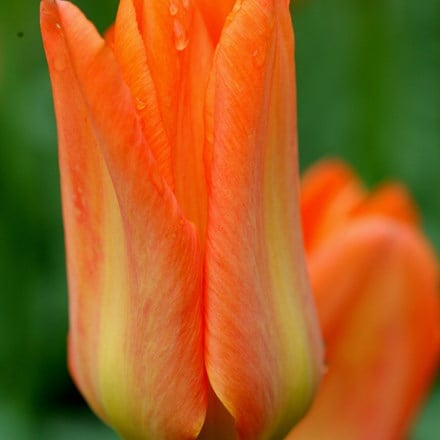 Tulipa Orange Brilliant