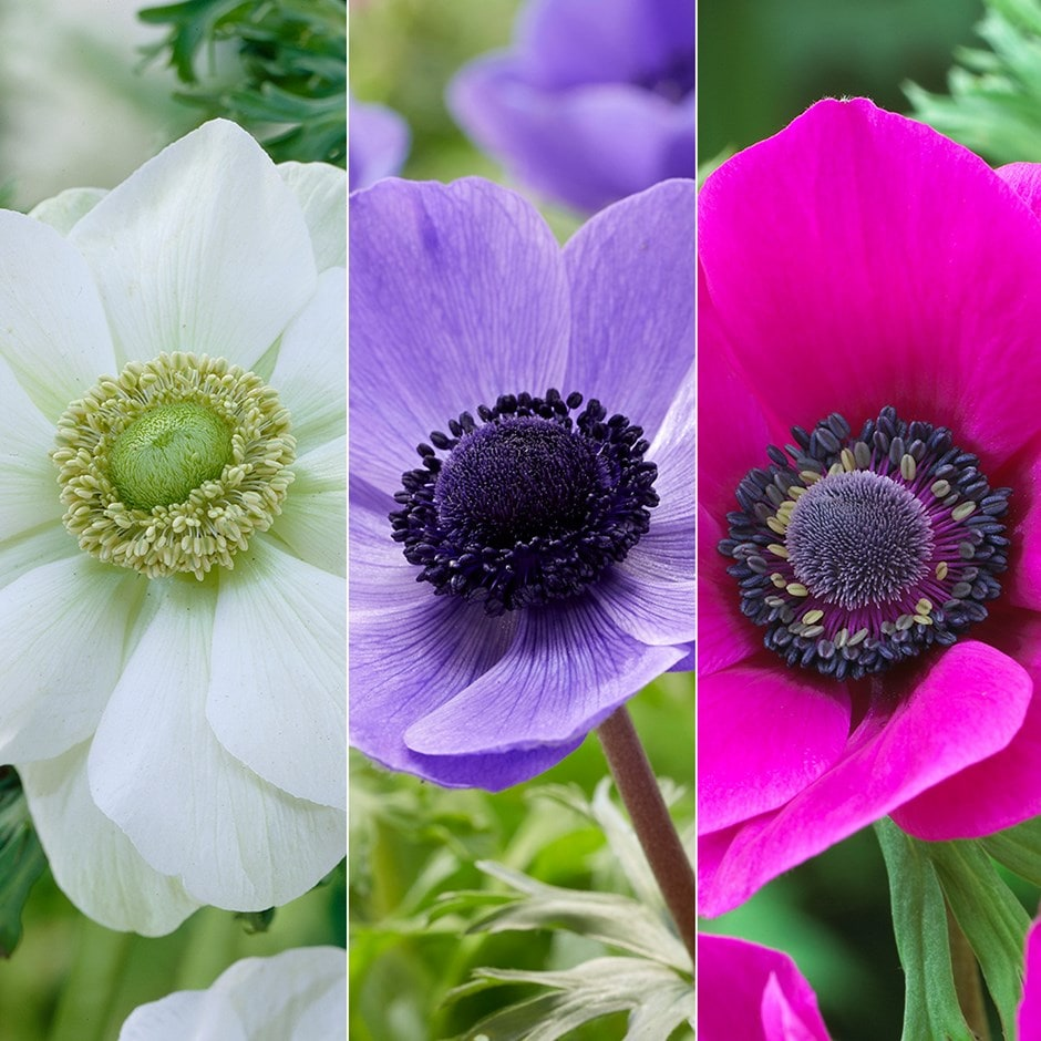 garden anemone collection