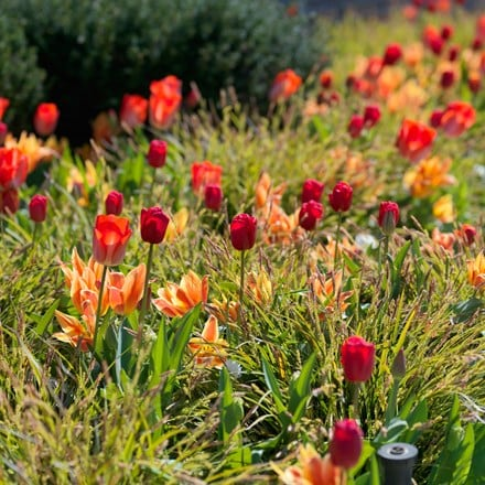 Orange and red tulip collection