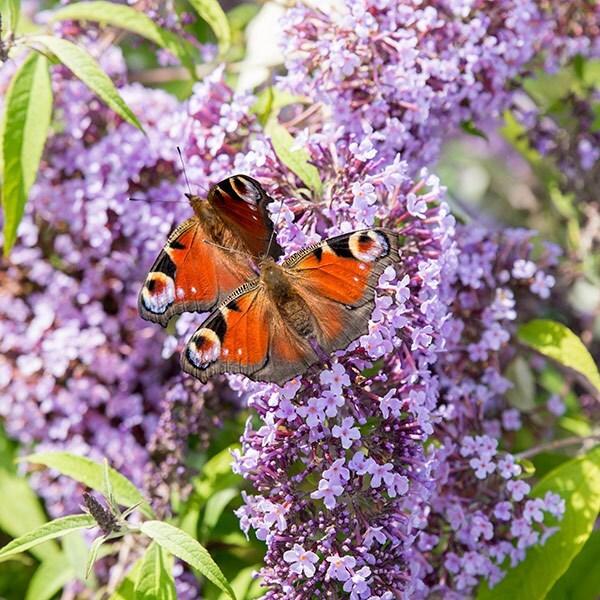 Buy Butterfly Bush Buddleja Davidii Wisteria Lane Pbr 163