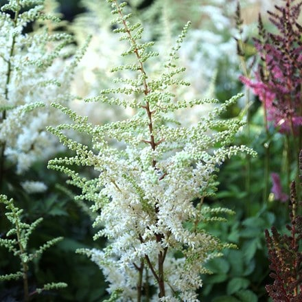 Astilbe chinensis Vision in White (PBR)