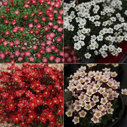 Saxifraga collection